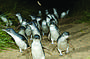 Grand Penguins - Phillip Island & Wildlife Tour (376)